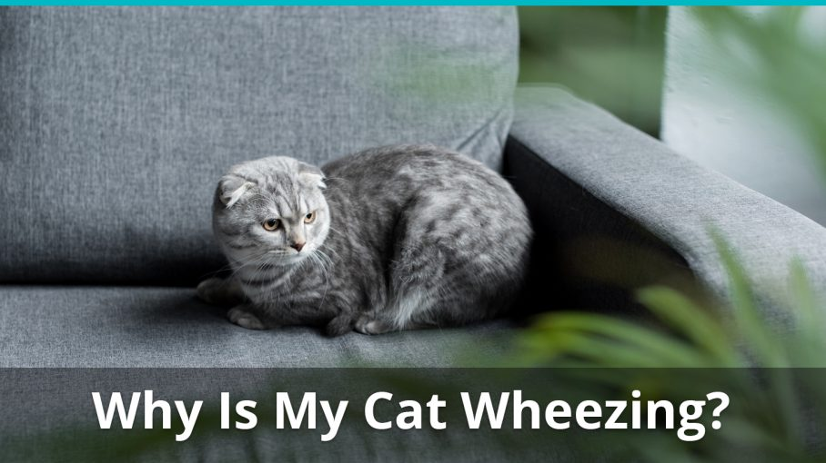 why is my cat wheezing