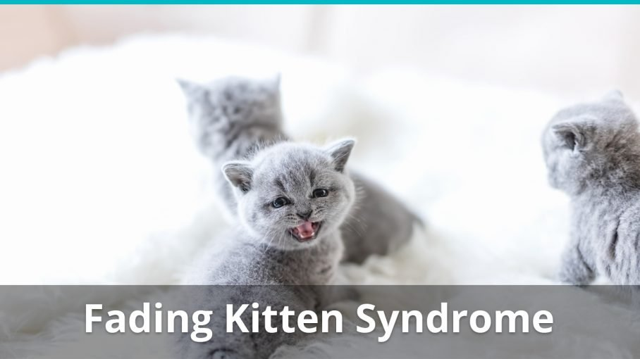 fading kitten syndrome