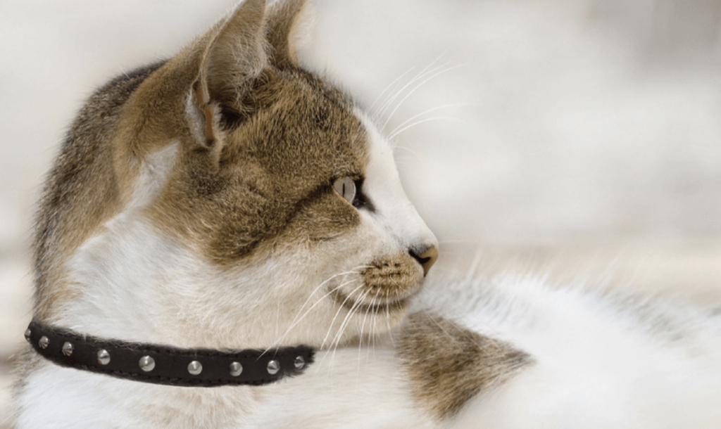 studded cat collar
