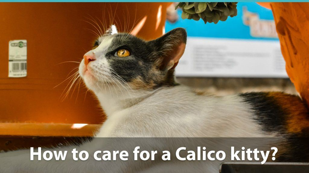 Calico cat care