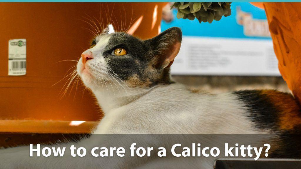 Calico cat care