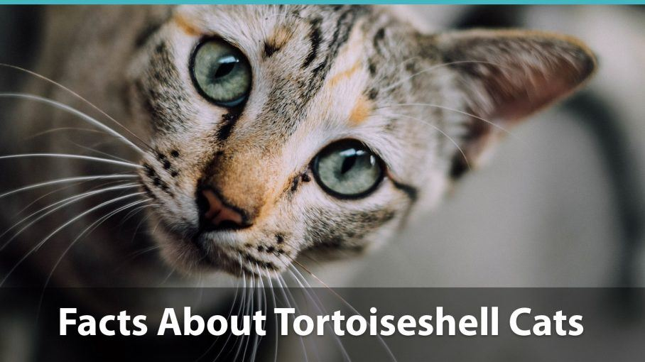 Facts about tortoiseshell cats what you need to know about torties - Images of tortoiseshell cats ...