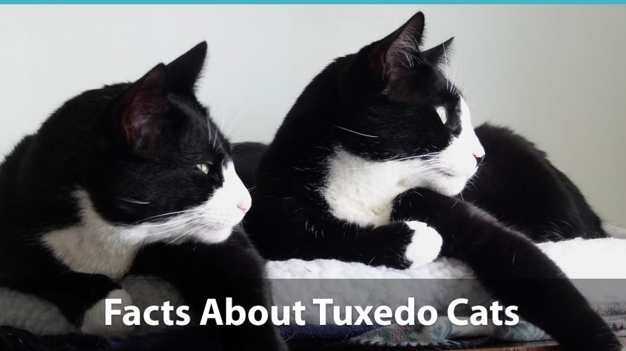Facts About Tuxedo Cats What You Need To Know About These Kitties