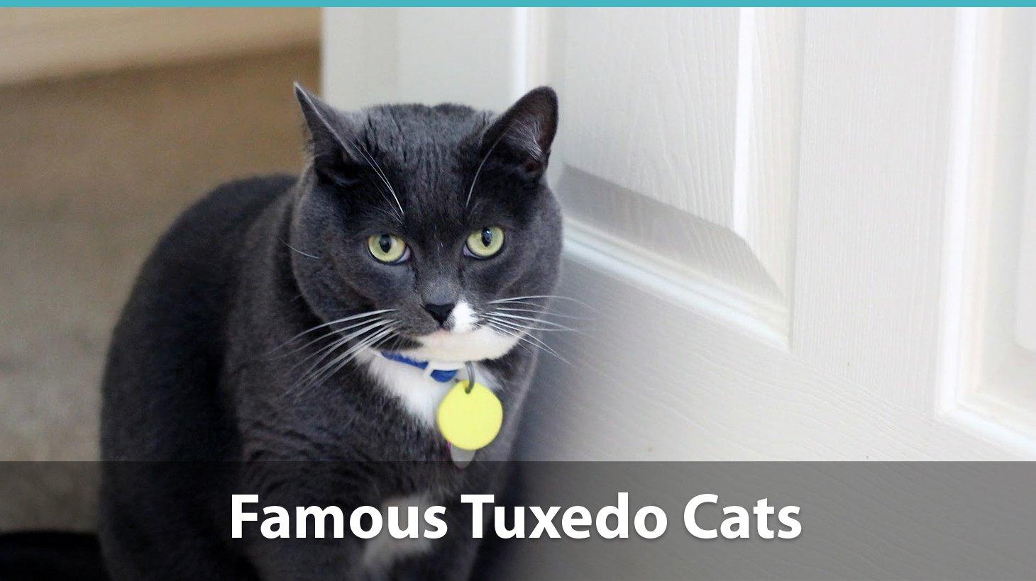 Tuxedo Cat Breed Price