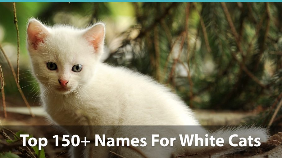 Top 150+ Names For White Cats: Funny, Traditional, Unique