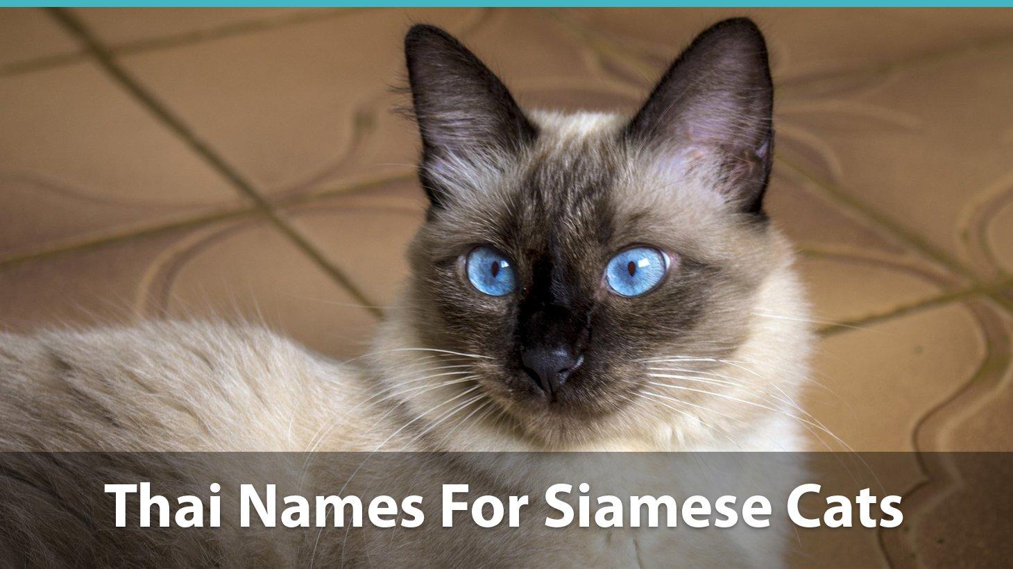 Top 120 Siamese Cat Names