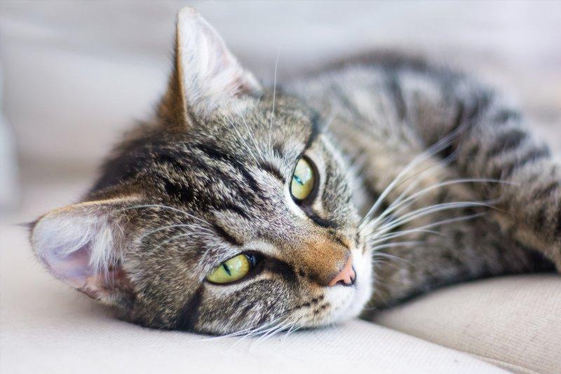 tabby cat lying down