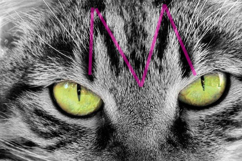 tabby cat m head marking