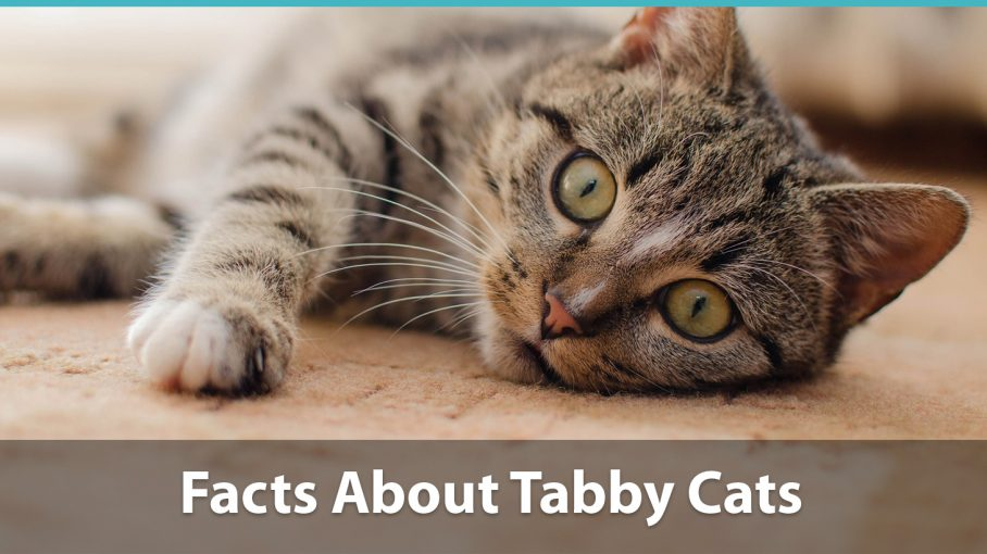 Facts About Tabby Cats | Traits, Health Issues, Price And Everything