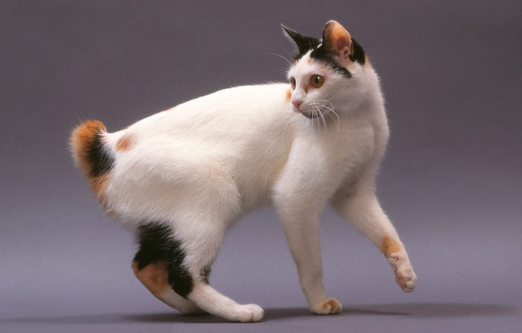 Bobtail Cat Short Tail
