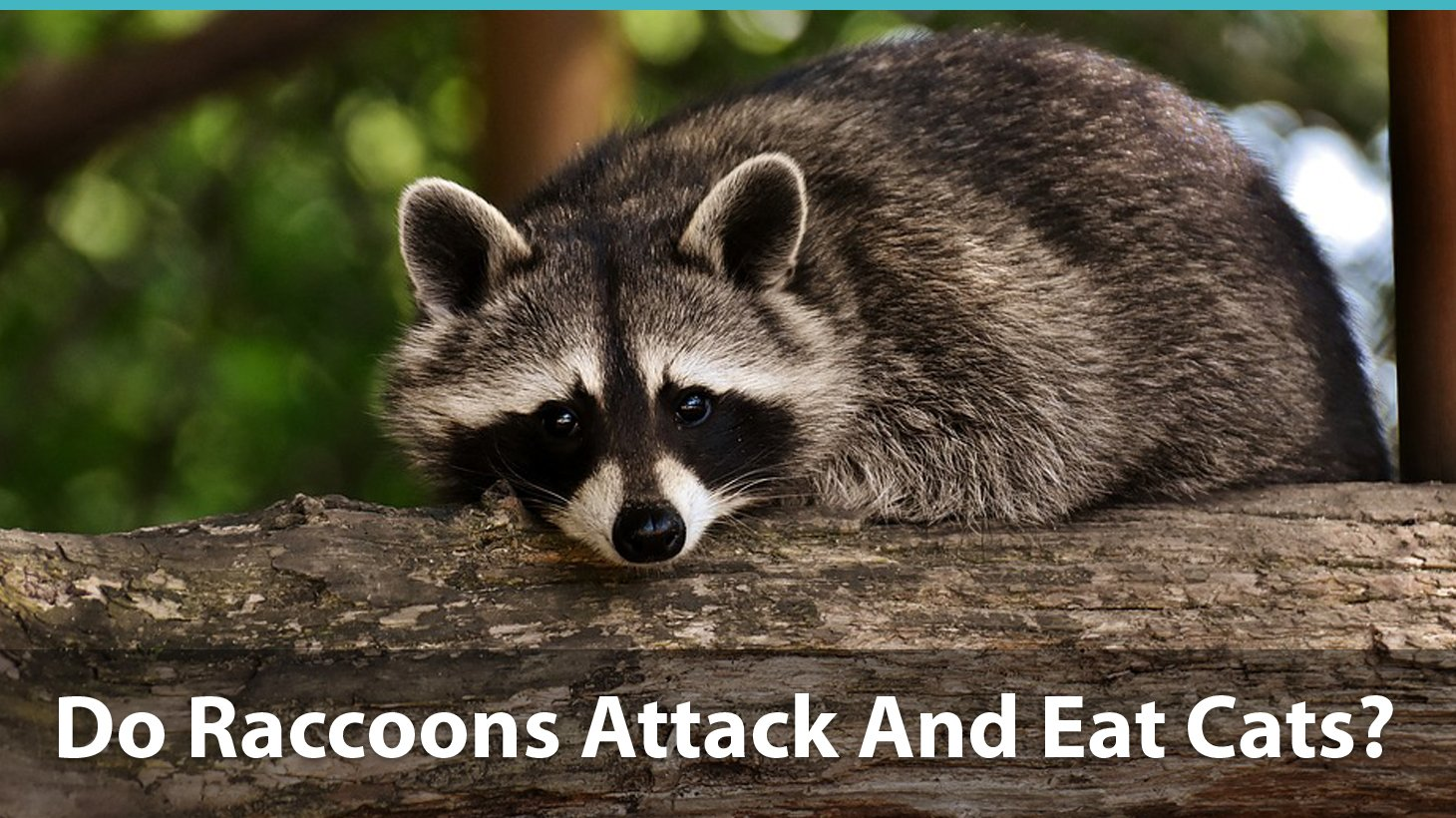 Do Raccoons Attack And Eat Cats? How To Keep Your Kitty Safe