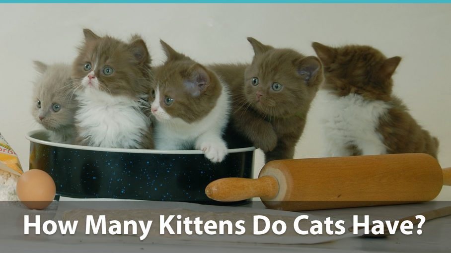 How Many Kittens Can A Cat Have Per Litter And Over A Lifetime