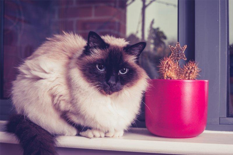 birman cat sitting beside a cactus
