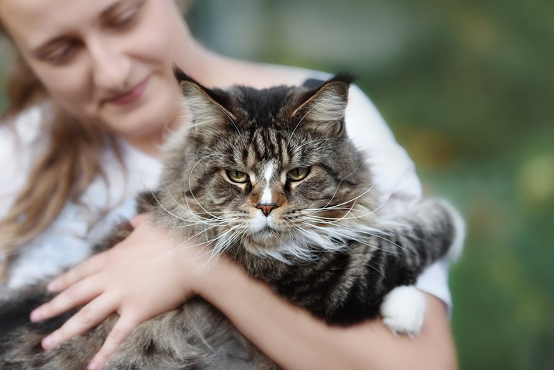 maine coon cat held by woman