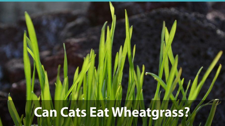 ¿Pueden los gatos comer hierba de trigo?