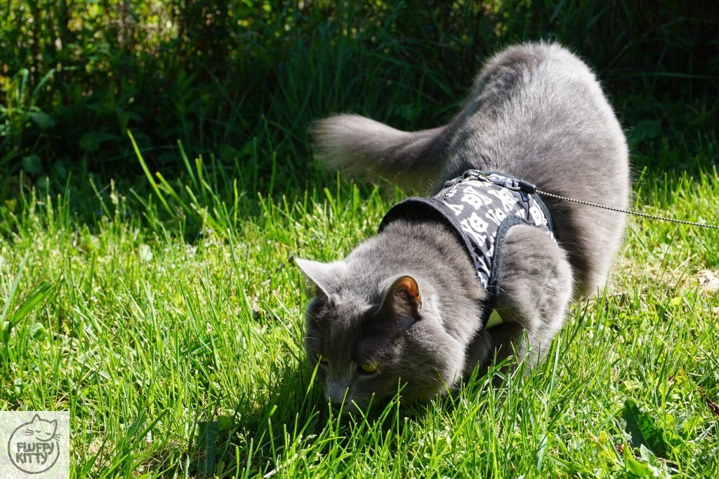 traveling cat outside with a harness and leash