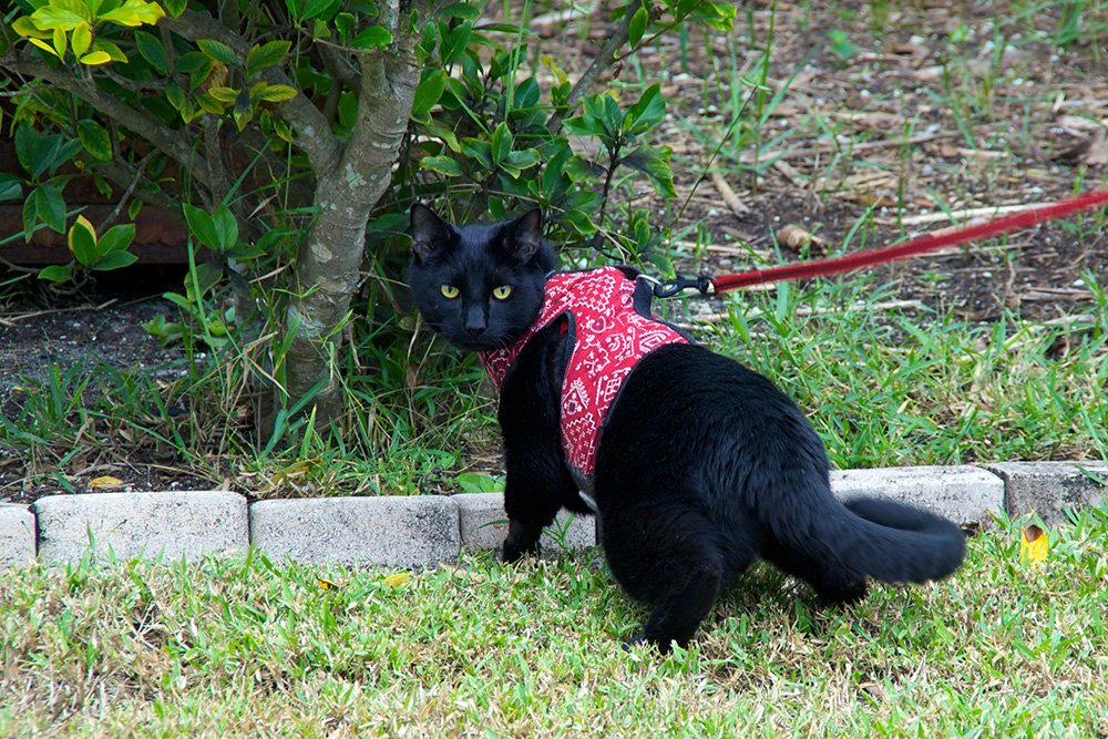 black cat in red harness with red leash walks on the grass best cat harness