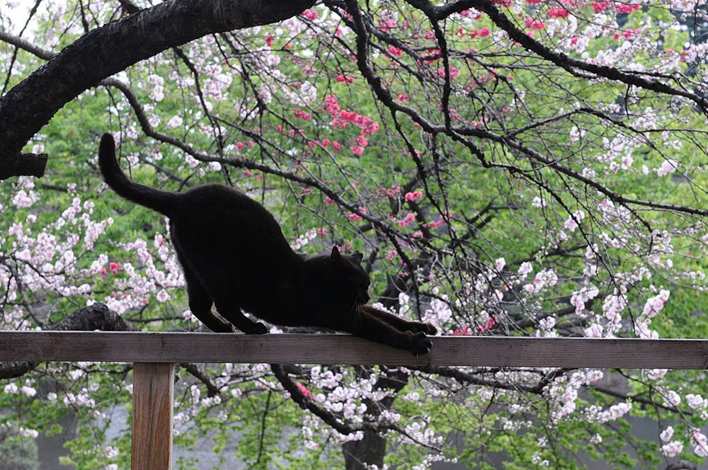 black cat stretching in front of japanese blossoms