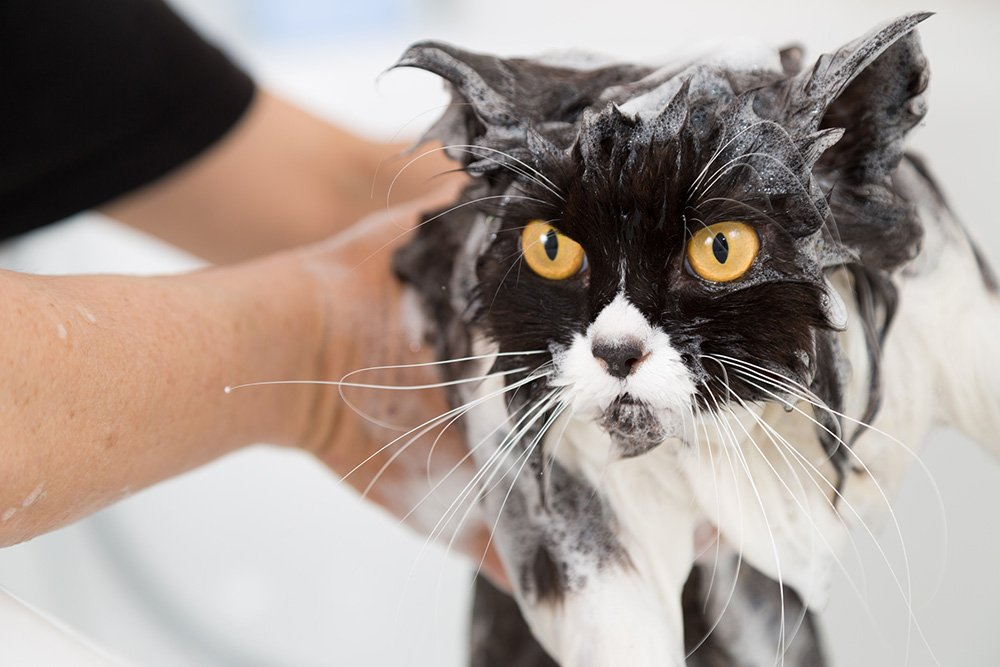 cat soapy in the bath with flea shampoo