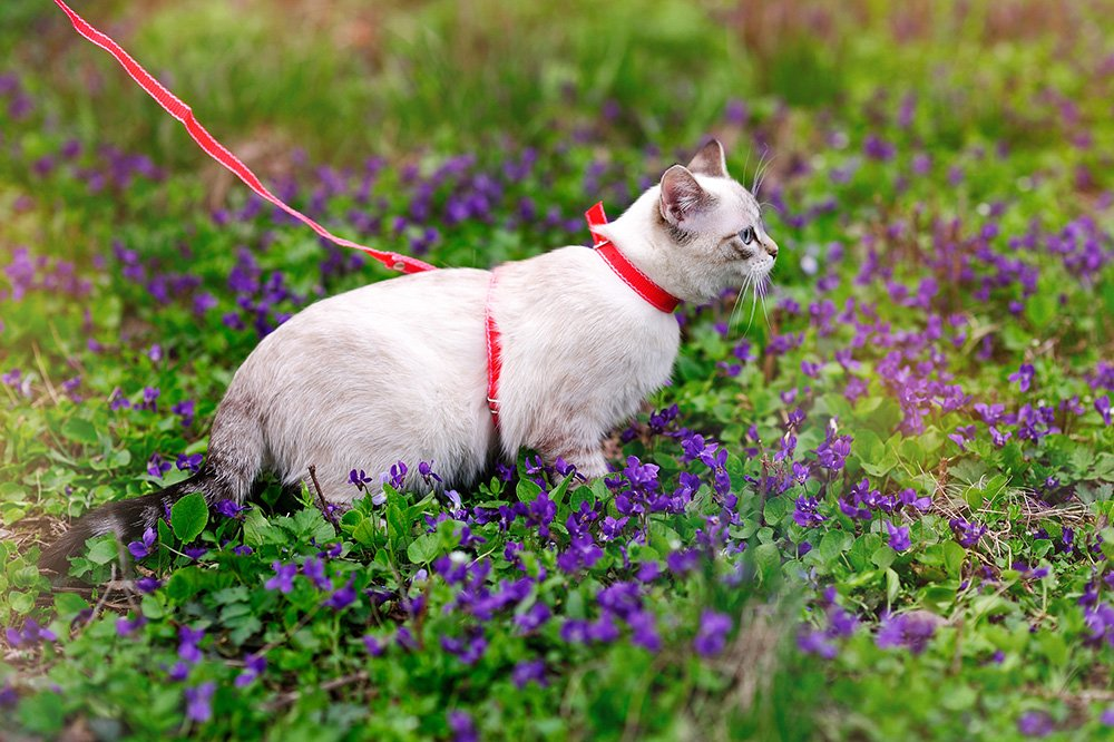 cat walking in flowers with a red harness and leash