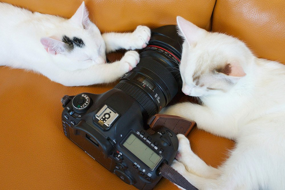 two white cats touching a canon camera