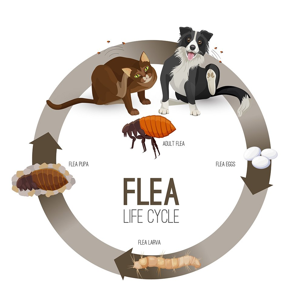 infographic of the flea life cycle from pets