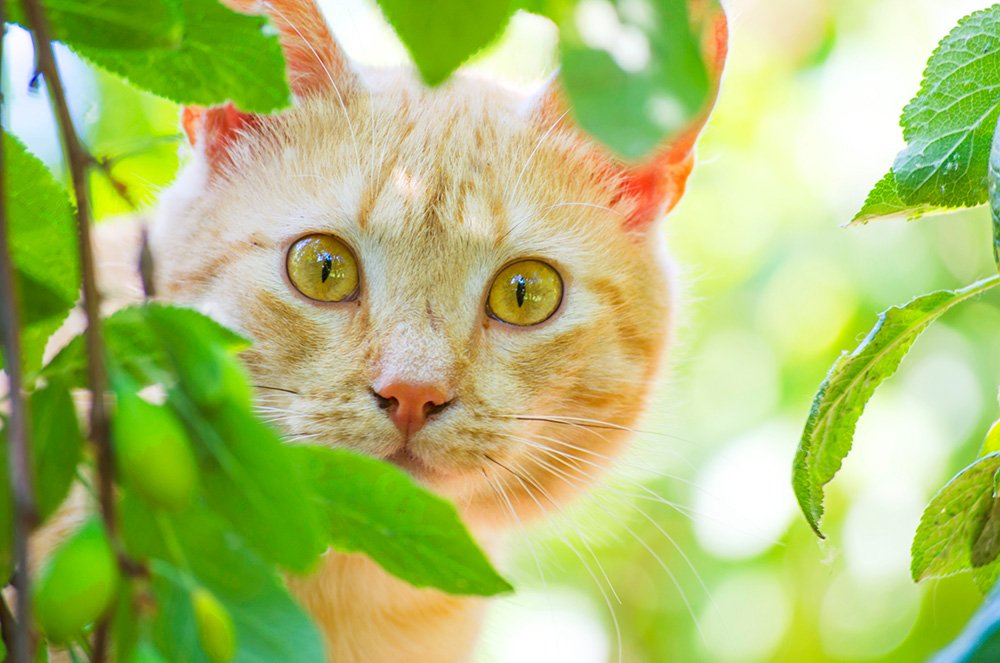 ginger cat peeking out from behind some leaves