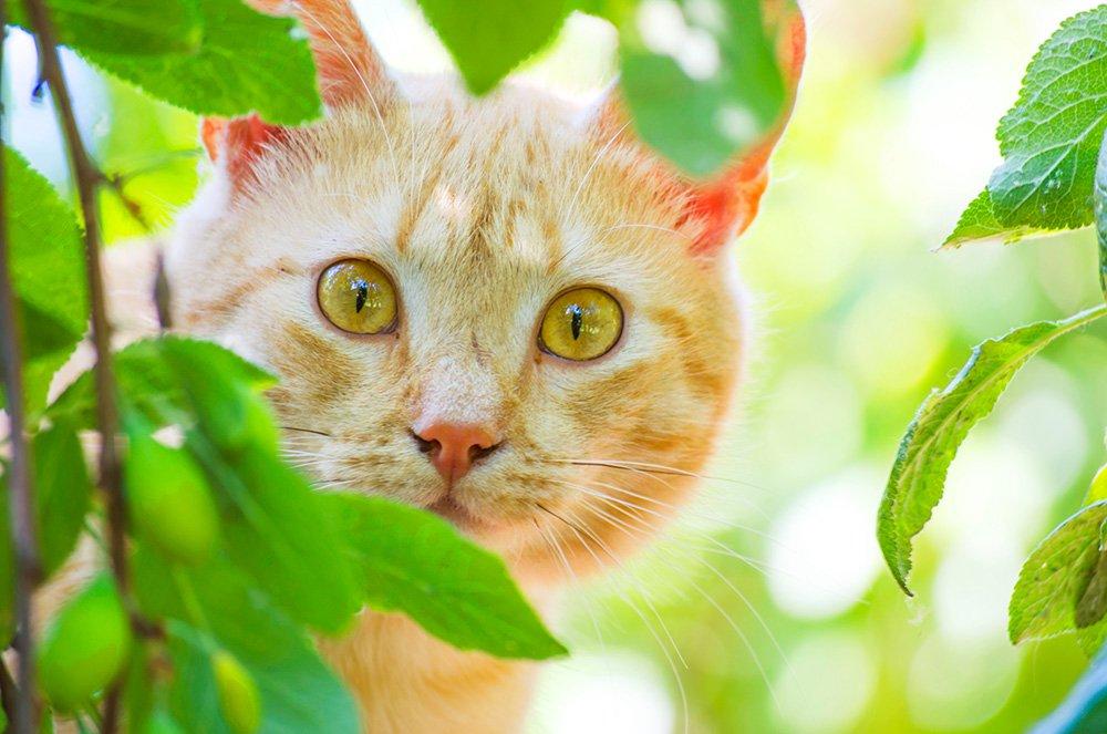 chat gingembre furtivement par derrière quelques feuilles