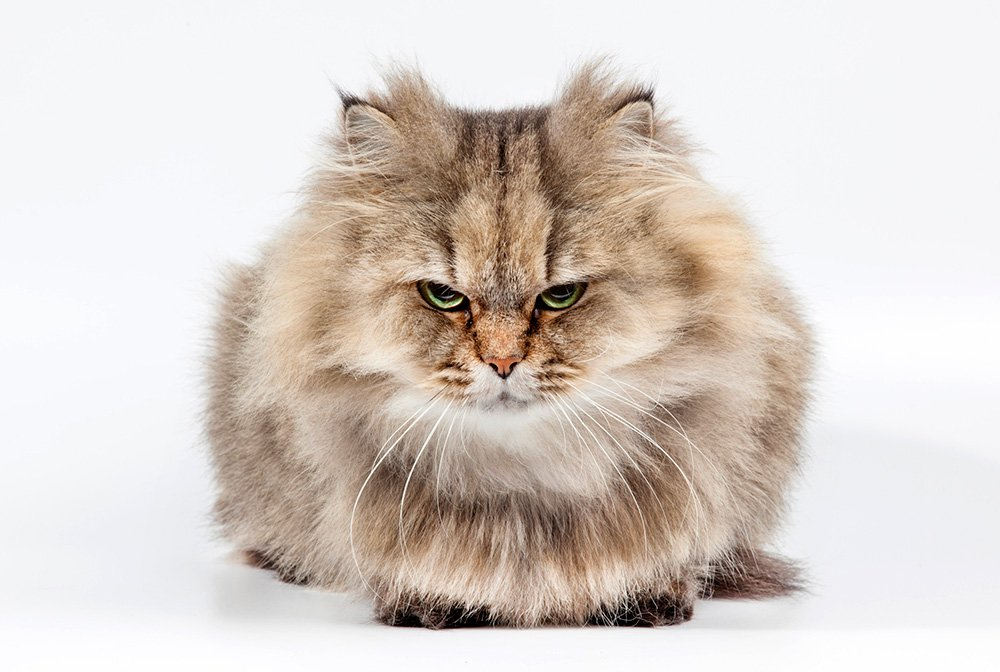 grumpy persian cat