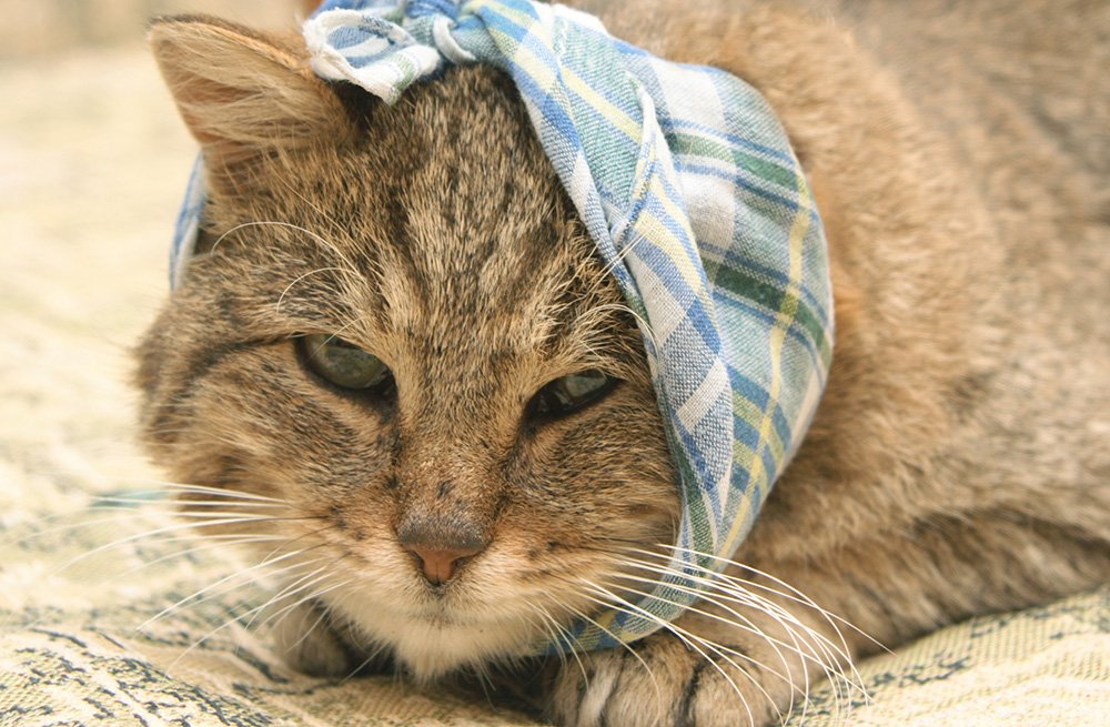 sick cat with kerchief over head and mouth