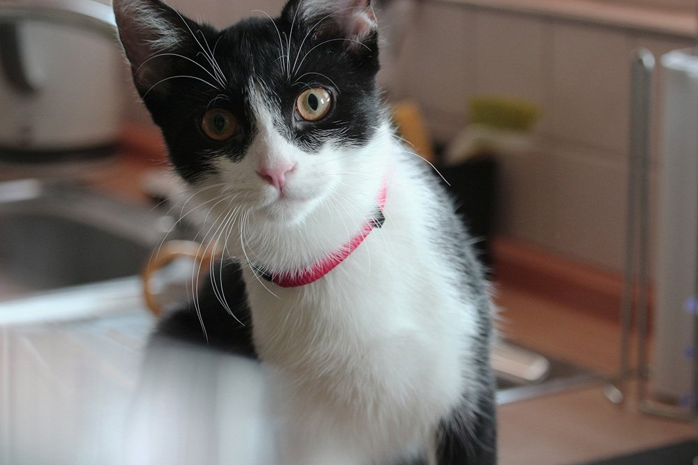 small black and white cat with a pink collar on