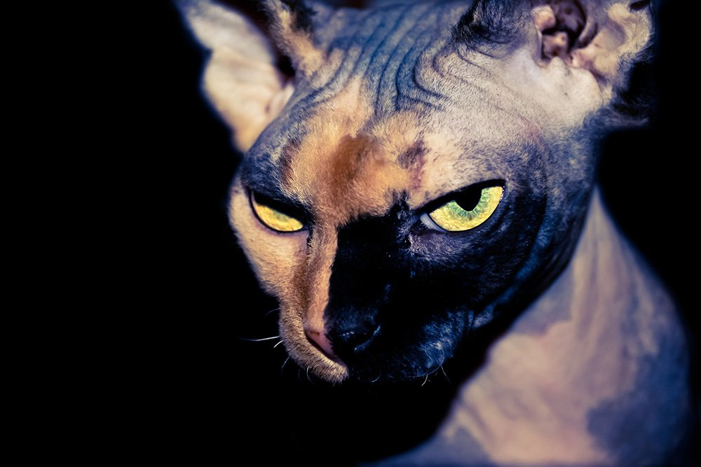 tough looking sphynx cat with half black face