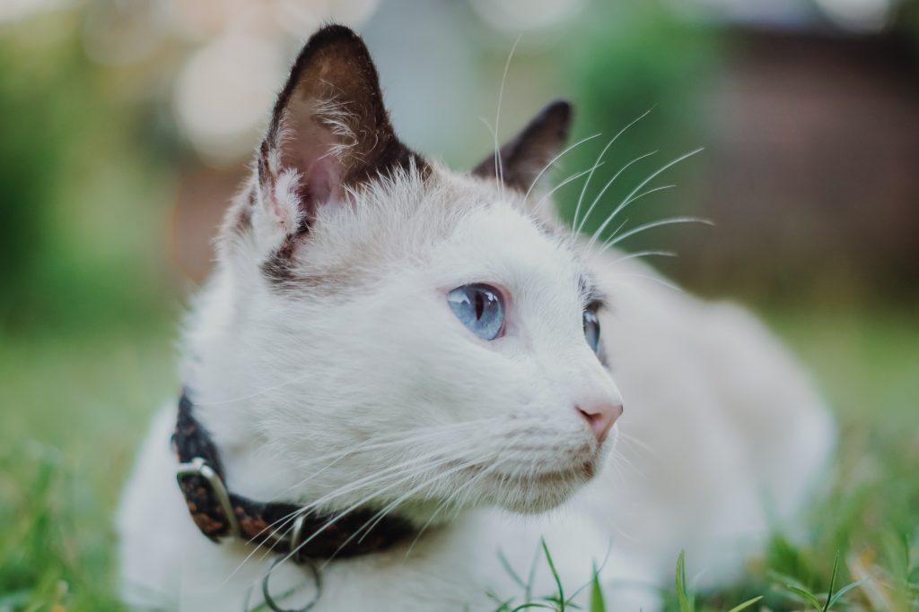 white cat lying down outside with a black and brown collar on