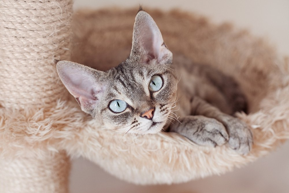 Adorable beautiful Devon Rex cat is chilling on the scratching post