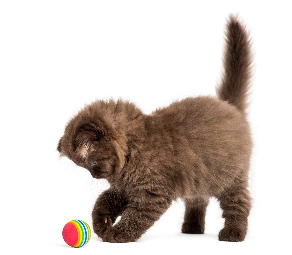 Highland fold kitten standing playing with a ball
