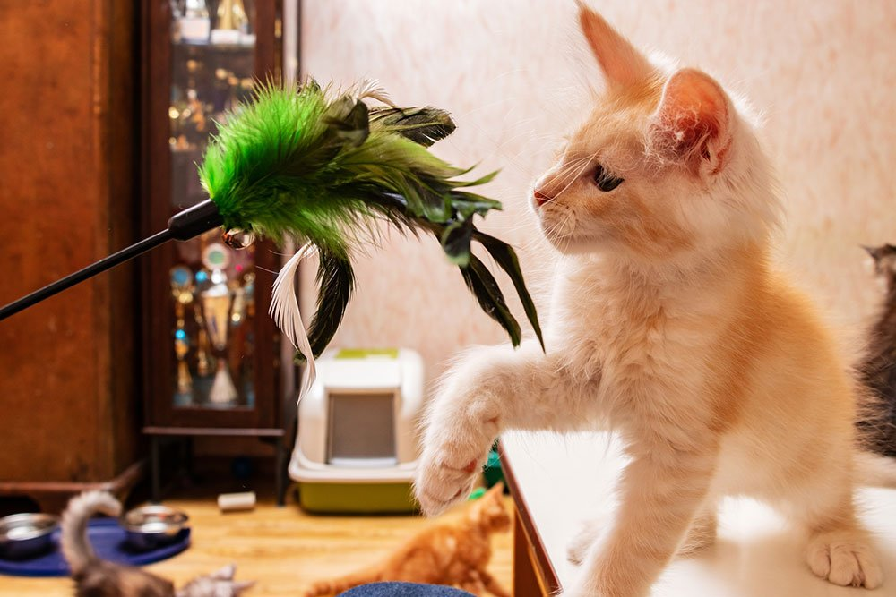 Maine Coon kitten playing with a toy for cats teaser fishing pole for cats with green feathers