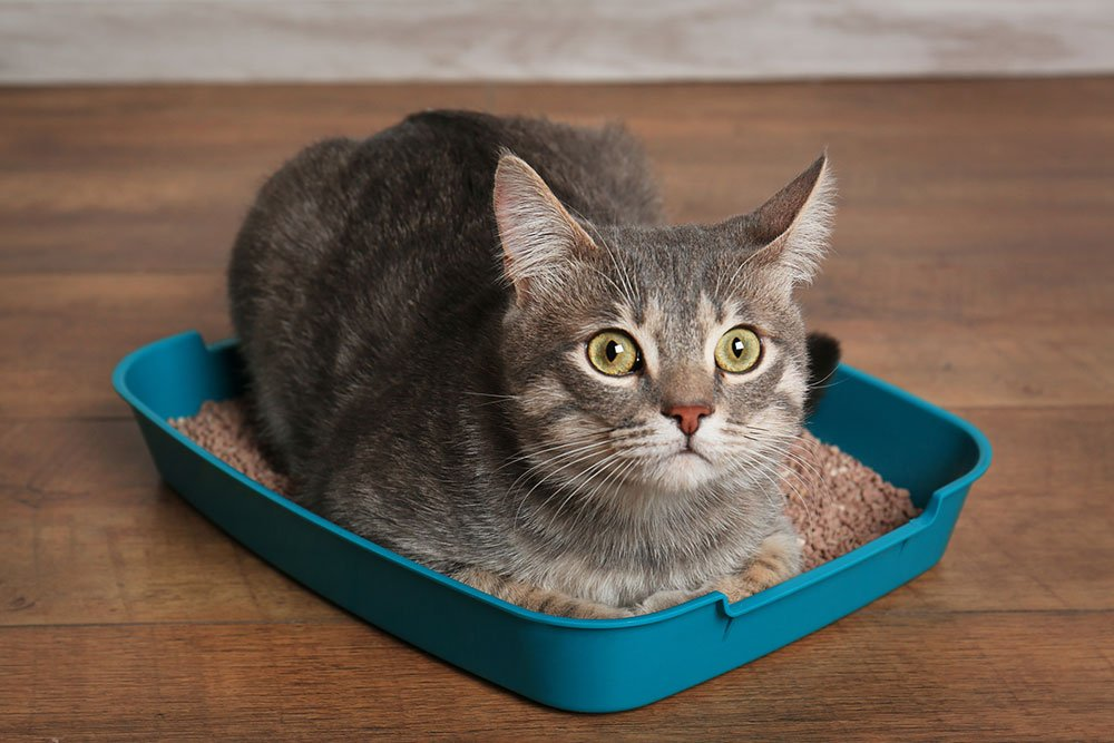 cute grey cat lying down in litter box