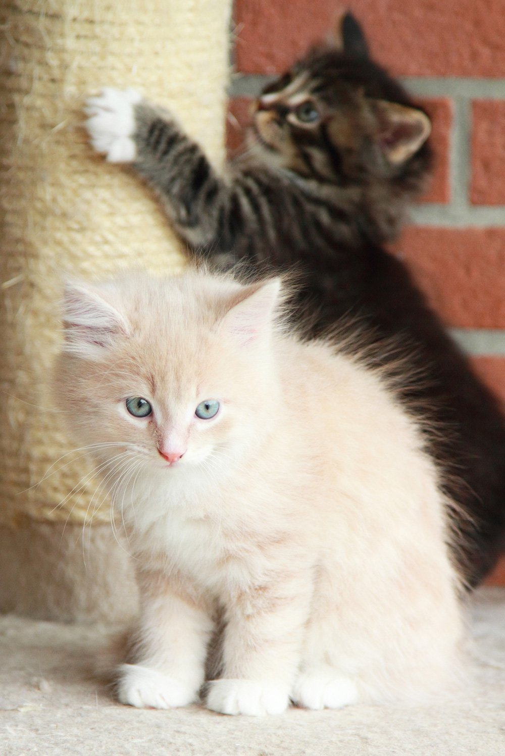 two kittens with one scratching a post in the background