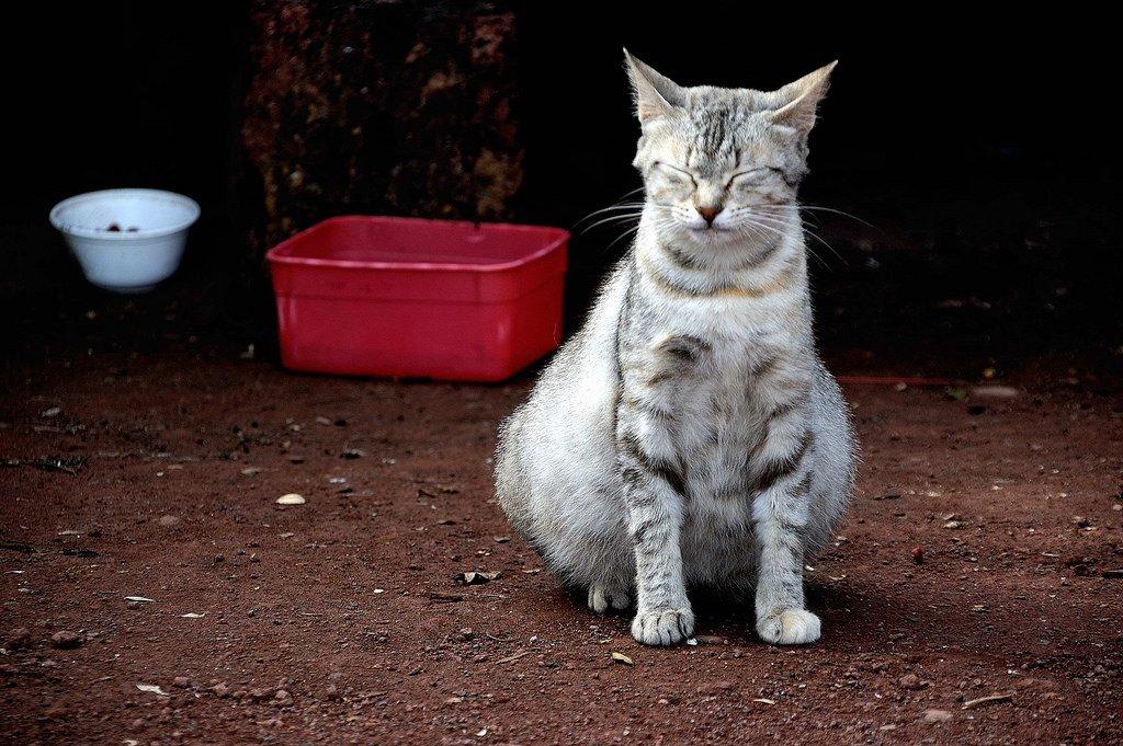 very pregnant grey white cat
