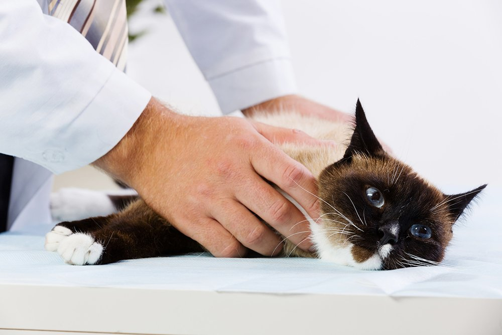 cat lying down at vet clinic being held by vet on table