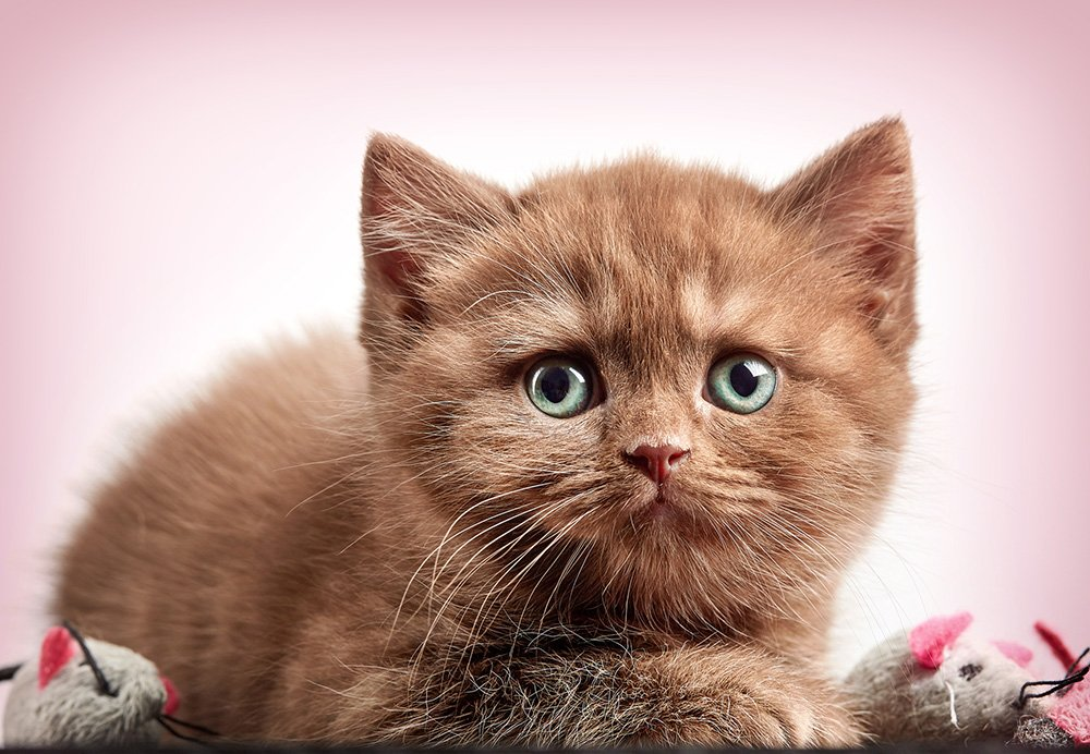 cute brown shorthair kitten sensitive stomach cat food