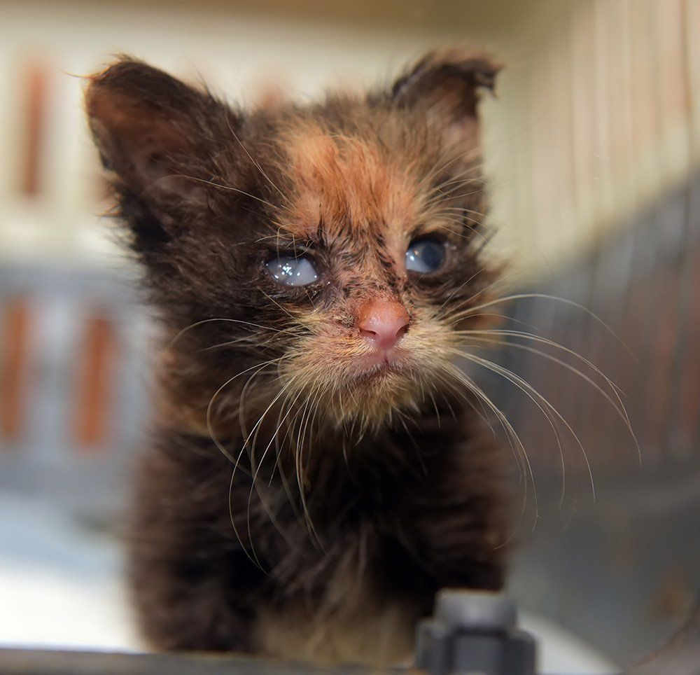 young kitten with eye discharge from feline herpesvirus