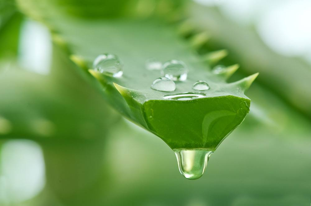 aloe vera for natural flea treatment