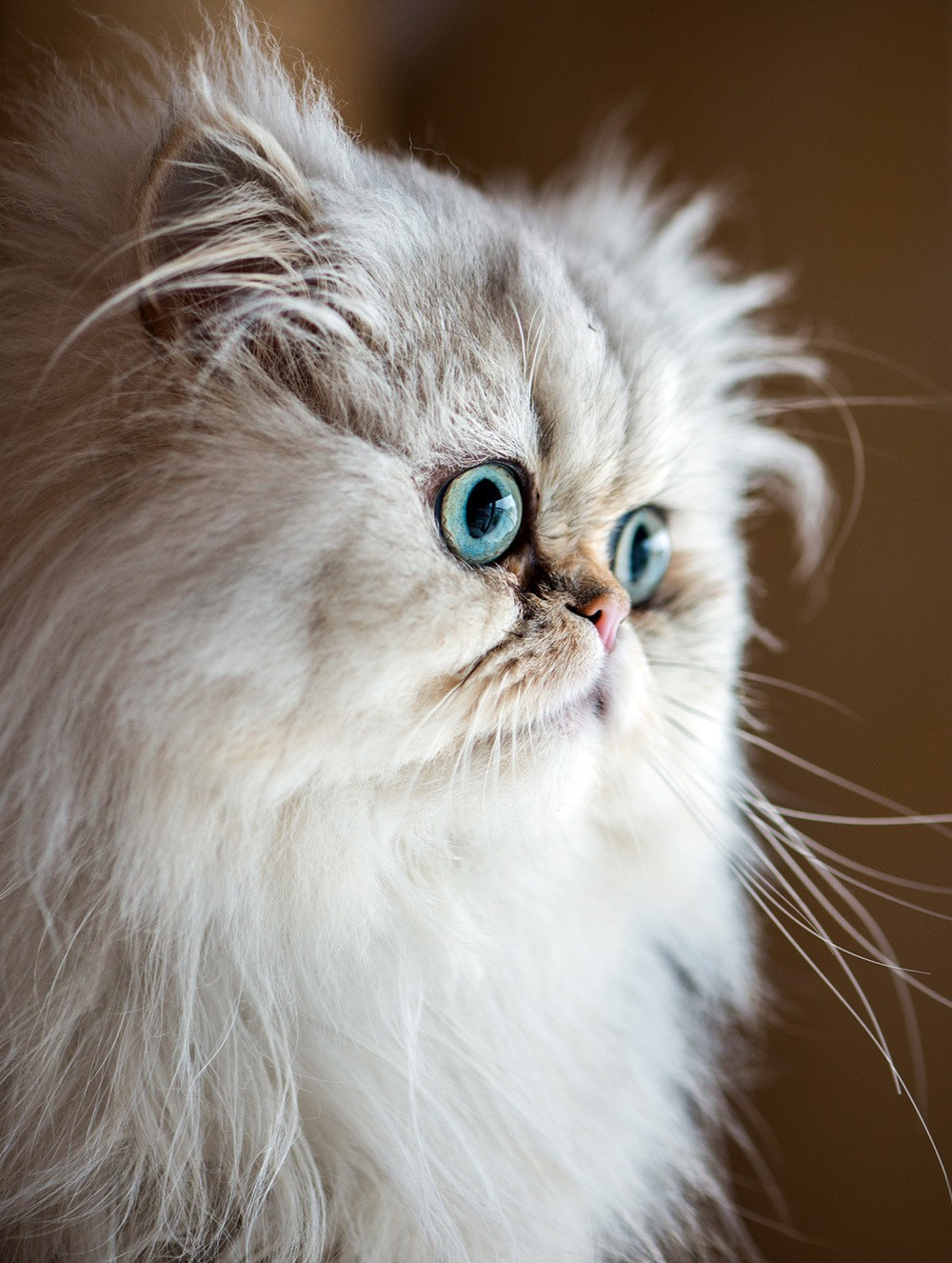 blue eyed persian cat
