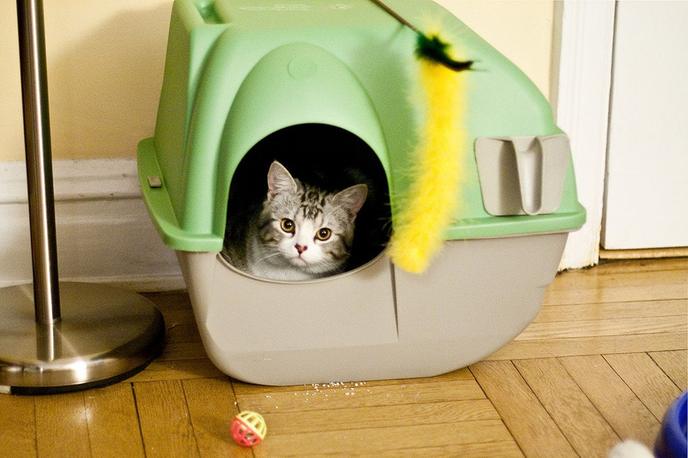 cat looking out of green and tan litter box best natural cat litter
