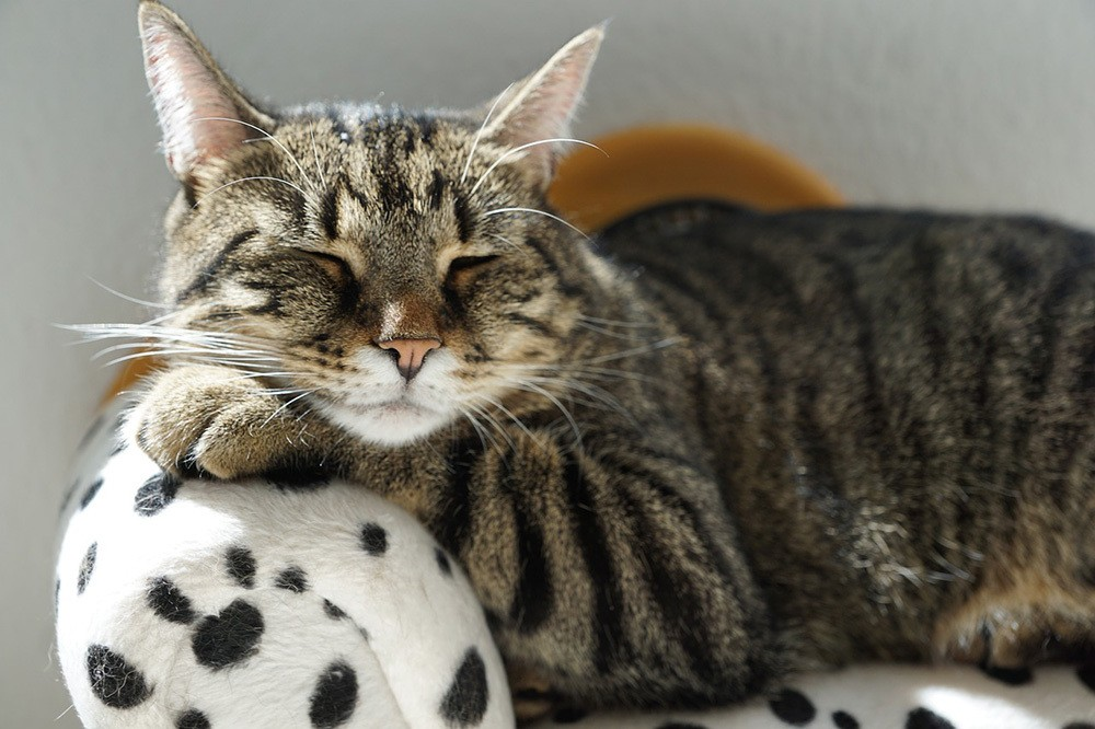 cat sleeping peacefully in a cow print cat bed