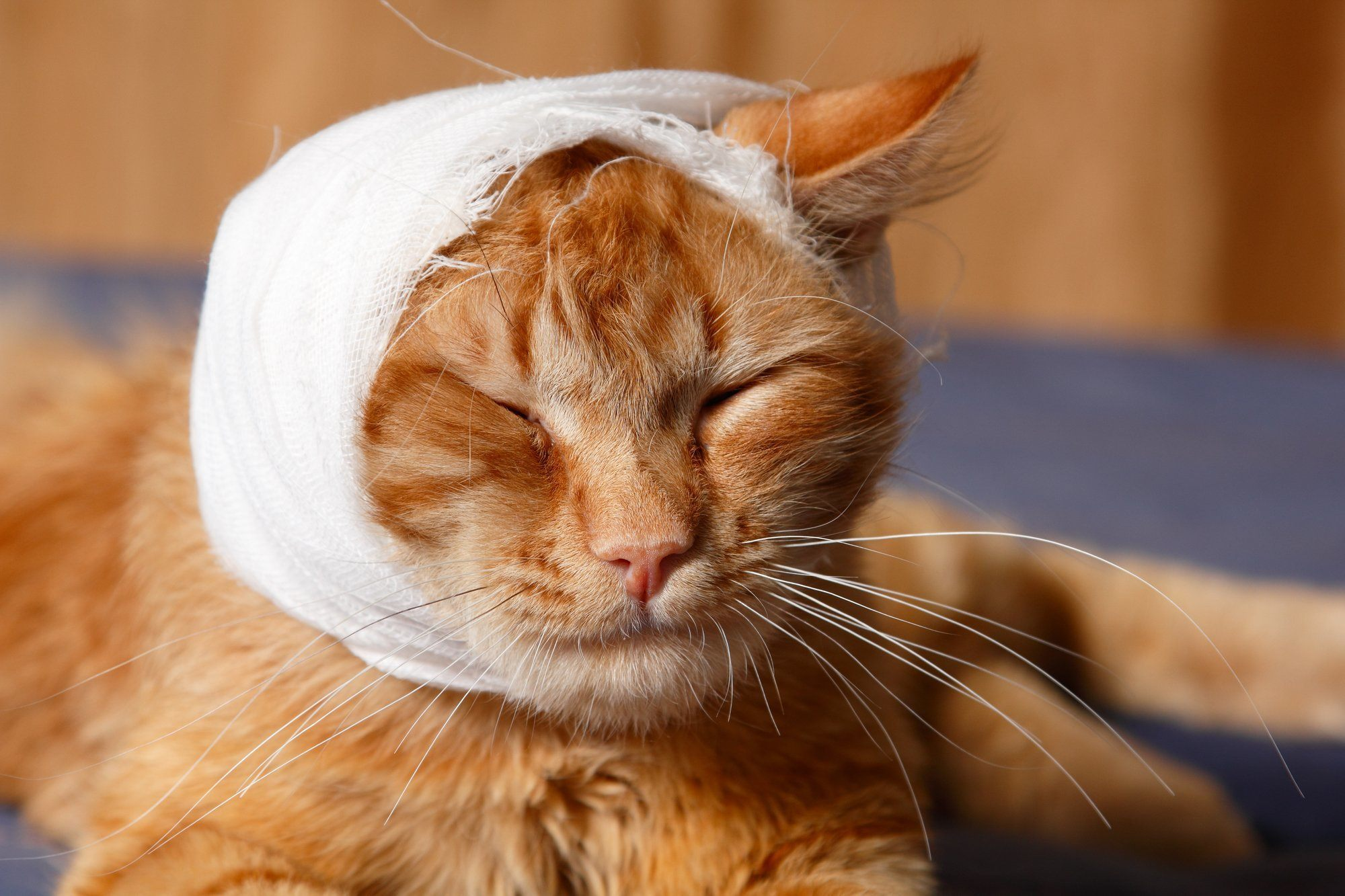 cat with head bandage cbd oil for cats