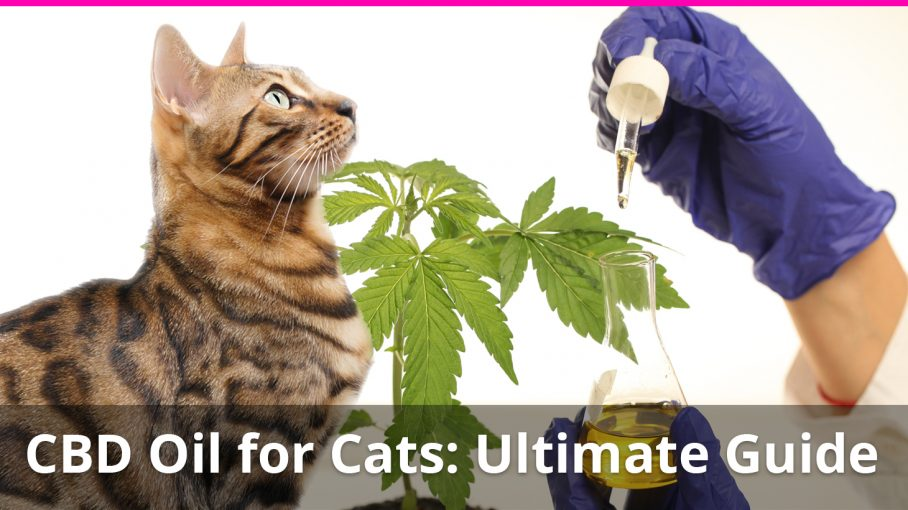 Cbd Oil For Cats The Ultimate Guide With Expert
