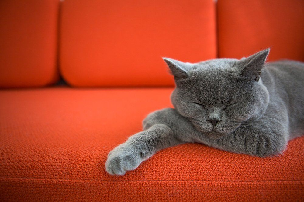 grey cat relaxing napping on red couch best cbd oil for cats