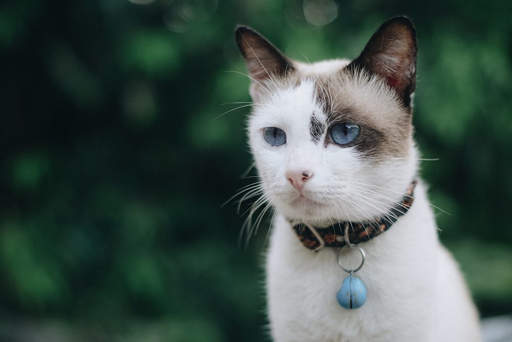 white cat outdoors looking with collar natural flea remedies for cats